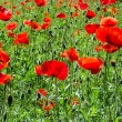 Flowering red poppies field — Stock Photo