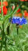 Blue cornflower in the field of red poppies. — Stock Photo
