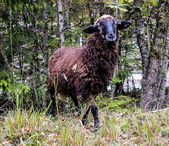 Brown sheep standing on forest background. Closeup. Autumn. — Stock Photo