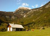 Alpine landscape with cows. Autumn. Slovenia — Stock Photo