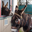 Two brown donkeys. Closeup. — Stock Photo