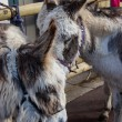 Two furry beige donkeys with bridle tied to fence. Closeup. — Stock Photo #17697111