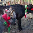 Stock Photo: Two Christmas donkeys.