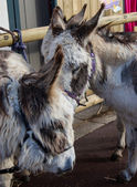 Two furry beige donkeys with a bridle tied to a fence. Closeup. — Stock Photo