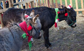 Two Christmas donkeys. — Stock Photo