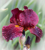 Maroon iris with water drops — Stock Photo