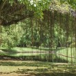 Banyan tree in the garden — Stock Photo