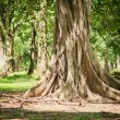 The roots of the banyan forest. — Stock Photo