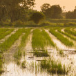 Rice field at sunset just after harvesting — Stock Photo #34236583