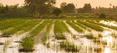 Rice field at sunset just after harvesting — Stock Photo