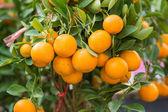 Branch orange tree fruits green leaves — Stock Photo