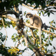 Stock Photo: Dusky Leaf Monkey in tropical rainforests ,Thailand