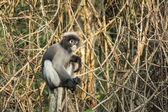Dusky Leaf Monkey in tropical rainforests ,Thailand — Stock Photo