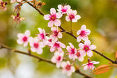 Pink blossom sukura flowers on a spring day in Thailand — Stock Photo