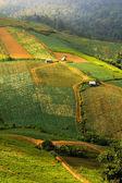 Strawberry tree Farm on the hill,in Phu Hin Rong Kla National Pa — Stock Photo