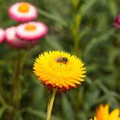 Helichrysum bracteatum met bijen — Stockfoto