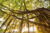 Banyan tree — Stock Photo