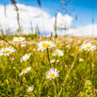 Stock Photo: Daisy on meadow