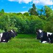 Cow grazes - Stock Photo