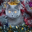 Royalty-Free Stock Photo: The British cat Christmas