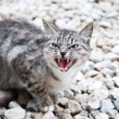 Wildcat — Stockfoto