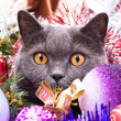 The British cat Christmas — Stock Photo