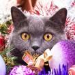 The British cat Christmas — Stock Photo