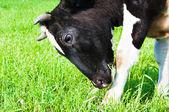 Cow grazes — Stock Photo