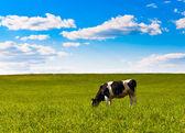 Cow grazes — 图库照片