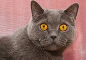 The British cat — Stock Photo