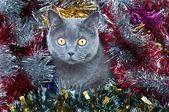 Britské kočičí vánoce — Stock fotografie