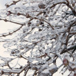 Stock Photo: Trees after freezing rain