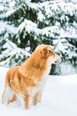 Red dog on the snow — ストック写真