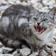 Stock Photo: British cat