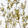 Flowering willow — Stock Photo