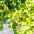 Maple in the sun — Stock Photo #25885625