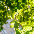 Maple in the sun — Stock Photo #25890365