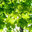 Maple in the sun — Stock Photo