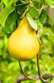 Pear on the branch — Stock Photo