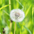 Fluffy dandelion — Stock Photo