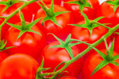 Branch of the tomato — Stock Photo