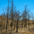 Forest after fire — Stock Photo