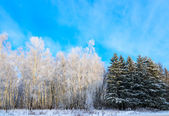 Forest of deciduous and coniferous trees in winter — Stock Photo