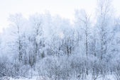 Sun in winter forest trees covered with snow — Stock Photo
