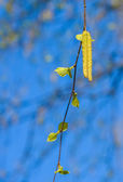 Birch with catkins bloom — Stock Photo