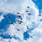 Flock of pigeons flying — Stock Photo #48731075