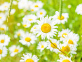 Daisy on a meadow — Stockfoto