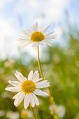 牧草地にデイジー — ストック写真