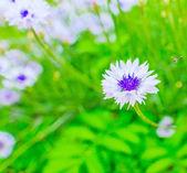 Daisy on a meadow — Stock Photo