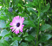 Purple flower among foliage — Stock Photo